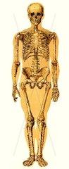 Skelett  historische Darstellung  um 1900