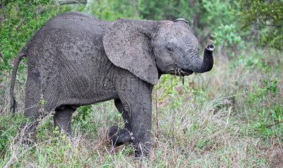 Junger Elefant im Regen  Kruger Nationalpark Suedafrika; young african elephant in the rain  south africa  wildlife