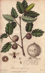Gall oak  Quercus lusitanica