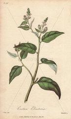 Cascarilla tree  Croton eleuteria