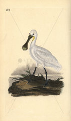 White spoonbill from Edward Donovan's Natural History of British Birds  London  1818.