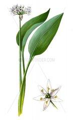Baerlauch Allium ursinum Serie Heilkraeuter