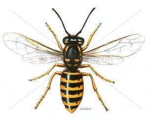 Saechsische Wespe Dolichorespula saxonica 1