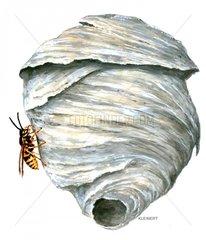 Saechsische Wespe am Nest Dolichorespula saxonica 2