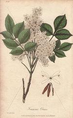 Manna ash tree  Fraxinus ornus