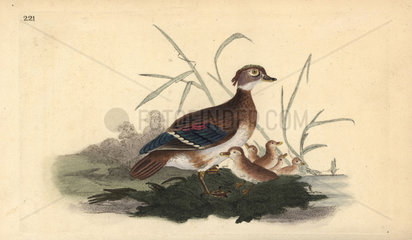 American wood duck from Edward Donovan's Natural History of British Birds  London  1818.
