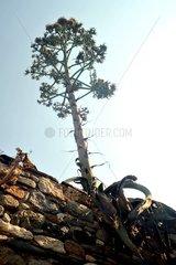 Naxos Baum Mauer Froschperspektive Agave Bluetenstand Griechenland