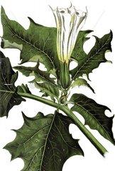 Gemeiner Stechapfel Datura stramonium Giftpflanze