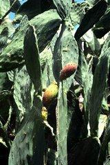 Kaktus Frucht