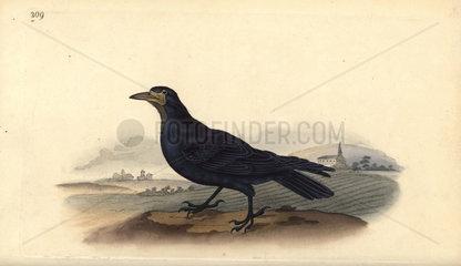 Rook from Edward Donovan's Natural History of British Birds  London  1818.