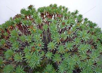 Kanarische Inseln Teneriffa Dunkelpurpurrote Wolfsmilch