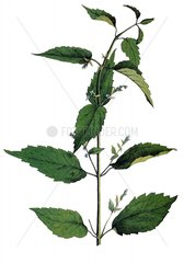 Helmkraut Serie Pflanzen