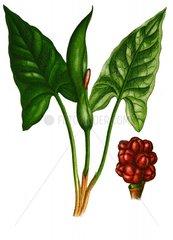 Aronstab Arum maculatum Giftpflanze