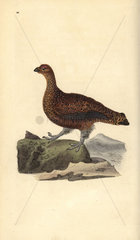 Red grouse (female) from Edward Donovan's Natural History of British Birds  London  1818.