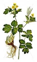 Sch_llkraut Chelidonium majus Giftpflanze