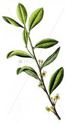 Kokastrauch Erythroxylum coca Heilkraeuter