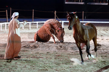 Dubai  Vereinigte Arabische Emirate  Freiheitsdressur  Pferd legt sich auf Kommando nieder