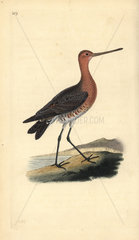 Bar-tailed godwit (male) from Edward Donovan's Natural History of British Birds  London  1818.
