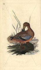 Shoveler duck (female) from Edward Donovan's Natural History of British Birds  London  1818.