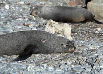 NEW ZEALAND-WELLINGTON-NEW ZEALAND FUR SEALS