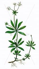 Waldmeister Galium odoratum