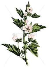 Echter Eibisch Althaea officinalis 3 Heilkraeuter