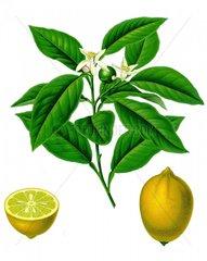 Zitrone Citrus limonum 1