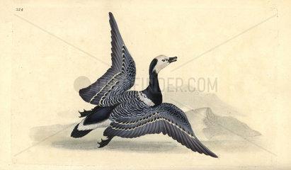 Barnacle goose from Edward Donovan's Natural History of British Birds  London  1818.
