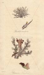 Roccella tinctoria  and Iceland moss  Cetraria islandica