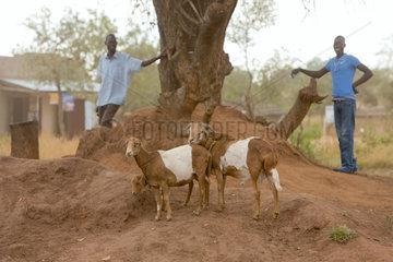 Kamdini  Uganda - Landleben. Eine Ziegenfamilie steht unter einem Baum.
