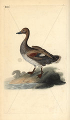 Gadwall (male) from Edward Donovan's Natural History of British Birds  London  1818.