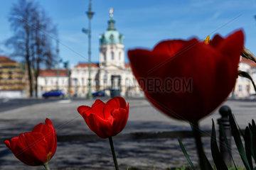Berlin  Deutschland  Tulpen auf der Mittelpromenade der Schlossstrasse