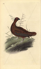 Red grouse from Edward Donovan's Natural History of British Birds  London  1818.