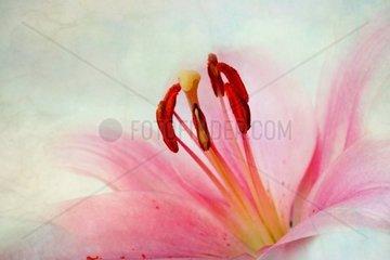 Rosa Lilien Im Retro Illustrations Look