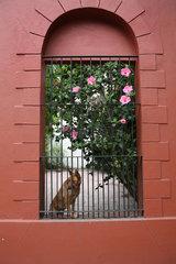 Colonia del Sacramento  Uruguay  Schaeferhund hinter einem Gitter