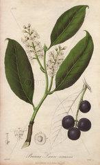 Cherry laurel tree  Prunus Lauro-cerasus