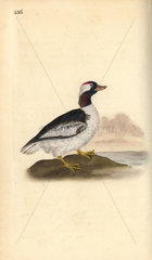Bufflehead from Edward Donovan's Natural History of British Birds  London  1818.