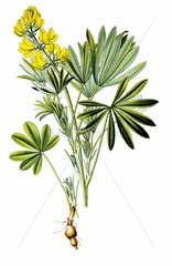 Gelbe Lupine Lupinus luteus Knolle Wurzel