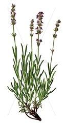 Heilkraeuter Kraeuter Lavendel Lavandula angustifolia