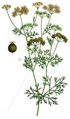 Koriander Coriandrum sativum