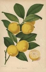 Bijou lemon cultivar  Citrus x limon