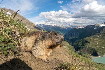 Austria  High Tauern National Park  marmot