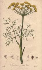 Dill  Anethum graveolens