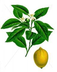 Zitrone Citrus limonum