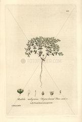Thyme-leaved flax-seed  Radiola milligrana