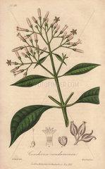 Quinine bark tree  Cinchona officinalis