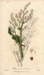 Rhubarb  Rheum undulatum