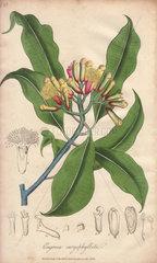 Clove  Syzygium aromaticum
