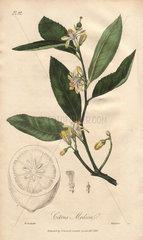 Citron  Citrus medica