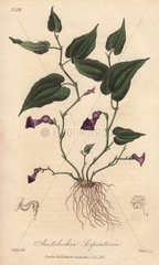Virginia snakeroot  Aristolochia serpentaria